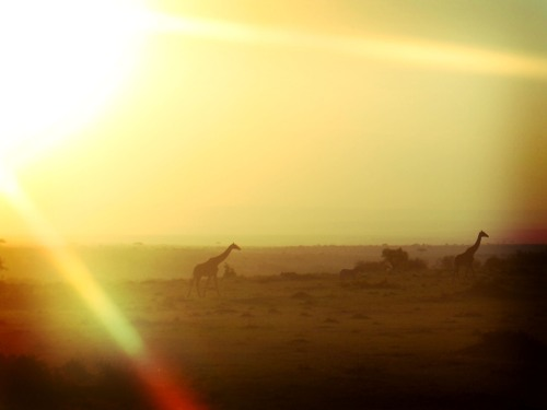 Photo of Giraffes in Kenya at Sunset